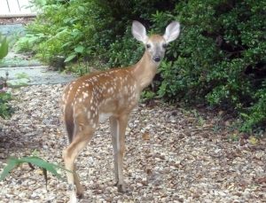 Fawns, appealing though they may be, seem to taste everything, camellias included