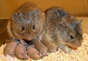 Smithsonian photo of prairie voles, similar to our pine voles in their reproductive capacity