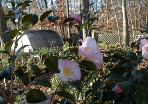 C. sasanqua 'Apple Blossom' overlook our potted plants
