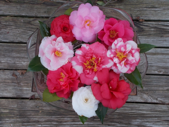 You can't create bouquets with camellia blossoms but floating blooms in a bowl makes a lovely centerpiece