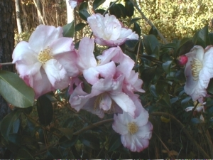 C. sasanqua 'Apple Blossom, another carefree camellia
