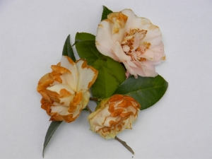 Examples of flower, or petal blight in an American Camellia Society photo