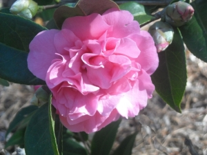 Grown from an air layer, this frilly pink japonica has been disease free