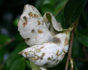 Give these galls time and they become unsightly with spores that are powdery white