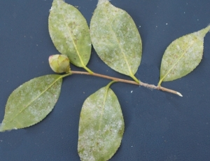 Underside of leaf infected by tea scale