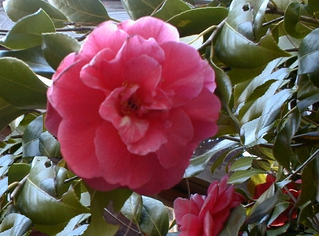 3  Insects and Diseases of Camellias   A Heron's Garden