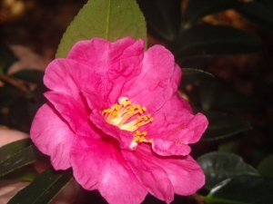 Camellia japonica 'Lady Clare,' an old and sturdy variety we purchased early on