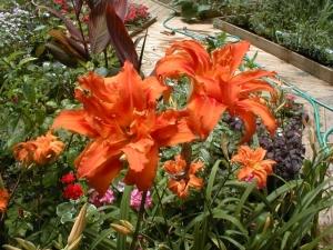 Double orange daylilies