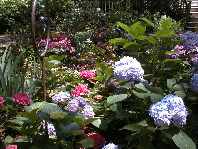 Our original hydrangea bed, with spirea, hosta and annuals