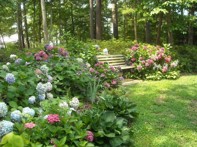 Our hydrangea garden today, most of it transplanted from sites that became too sunny after Hurricane Isabel took down trees