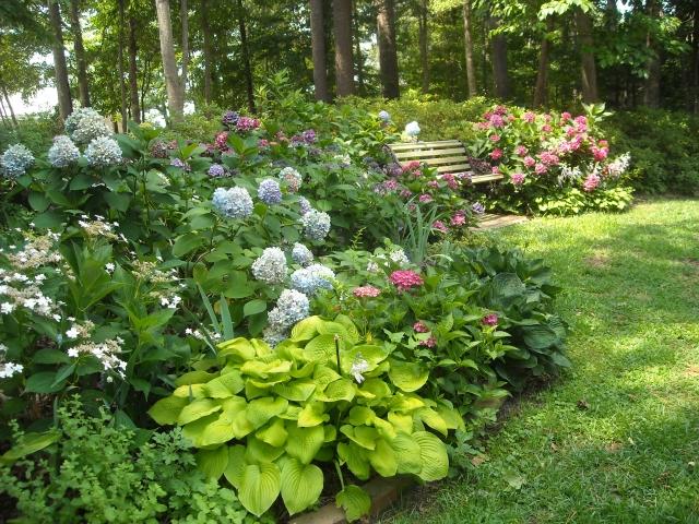 2 the romantic hydrangea a heron 39 s garden - Caring hydrangea garden ...