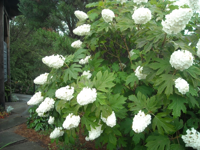 3 oak leaf hydrangea a heron 39 s garden for Ortensia quercifolia