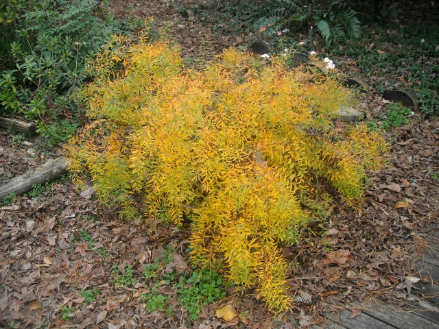Spirea 'Ogon' shines during its first autumn
