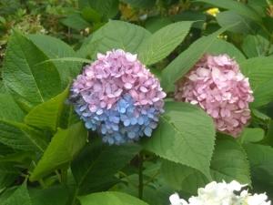 ASB half pink/half blue bloom
