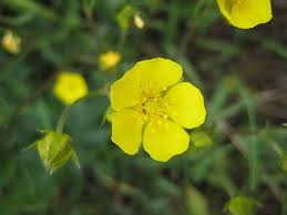 The lovely, five-petaled bloom of dwarf cinquefoil