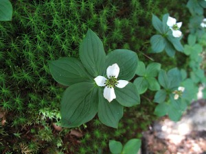 Bunchberry, a dwarf relative of our native dogwood, Cornus florida