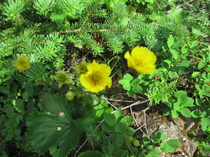 Mountain avens hugs the ground in lee of a low spruce branch