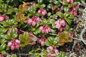 Mountain cranberry, tough leaves well adapted to survival in extreme conditions. Erin Paul Donovan photo