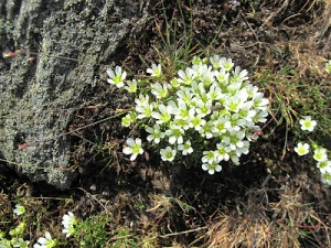 Mountain sandwort, summer bloomer, tufted against a rock