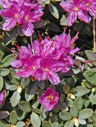 Dwarf rhododendron, an early, sweet-smelling bloomer