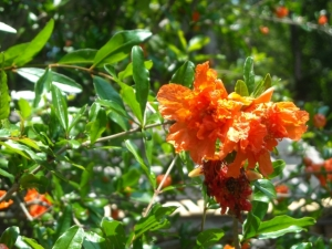Flowering pomegranate is a good grower and is sought after