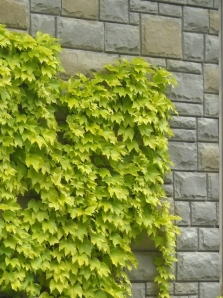 Boston Ivy 'Fenway Park'