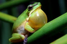 Green tree frog in lusty song. Photo by Evan Pickett