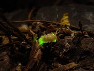 Firefly larvae glowing in leaf litter. From www.firefly.org