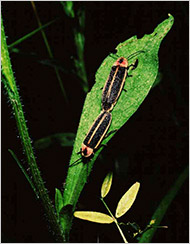 Fireflies mating in the female's hideaway, male below. Photo by Dr. Sara Lewis, evolutionary ecologist at Tufts University