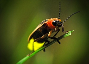 Female waits hidden in grass and signals back to a male that suits her fancy, from www.firefly.org