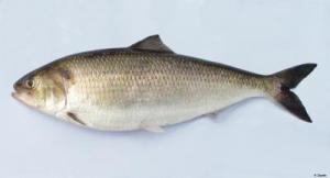 The shad, a spring mealtime staple in spring