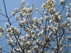 Shadbush blossoms against a spring sky