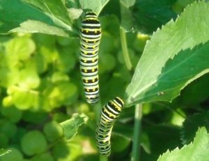 Black swallowtail caterpillars, sometimes called parsley worms, enjoying golden alexander