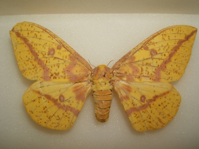 buttimperialmoth