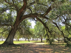 Ancient live oaks added splendor to the coast
