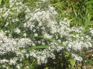 This roadside aster escaped into my beds, knowing I am a  softie, becomes a froth of white in fall