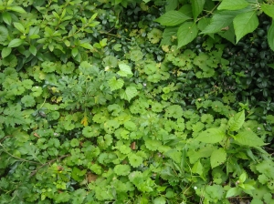 Creeping Charley, nice groundcover but it will cover your plants, too