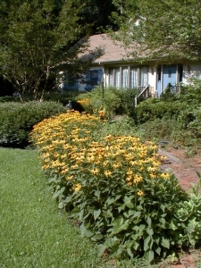 Rudbeckia holds its own against wire grass