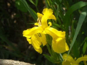 The last  yellow swamp iris bloom, a beauty but the plant is a spreader