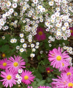 Bright chrysanthemums among wild asters brighten my tired garden