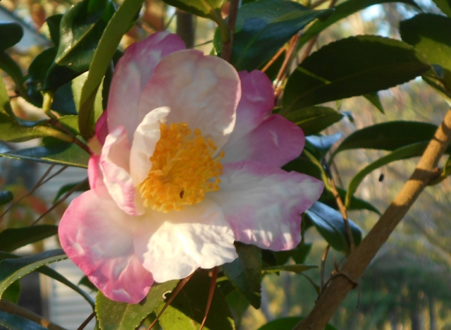 Camellia 'hana jiman', another bright spot in the garden