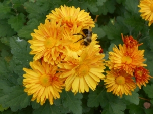One of the busy bees on a full blown chrysanthemum