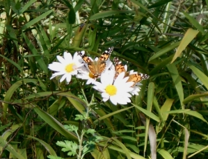 Butterflies crowd a late blooming Sheffield chrysathemum