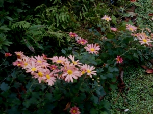 Soft pink chrysanthemums outshine aged ferns