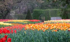 Tulips at Longwood Gardens, Pennsylvania