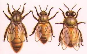From left to right, the queen, the male drone who fertilizes the queen, and the female worker bee. ag.arizona.edu