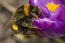"Hardworking bumble bee, its ""pile"" covered with pollen, makes one more stop. Wikipedia"
