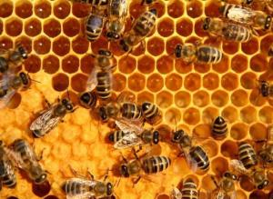 Industrious bees capping honeycomb, a beautiful site