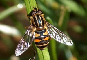 A whole family of flies that pollinate plants, this brightly colored hoverfly is susceptible to systemic pesticides