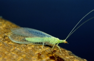Low-dose neonics adversely affects native pollinators like this adult lacewing, Peter J. Bryant